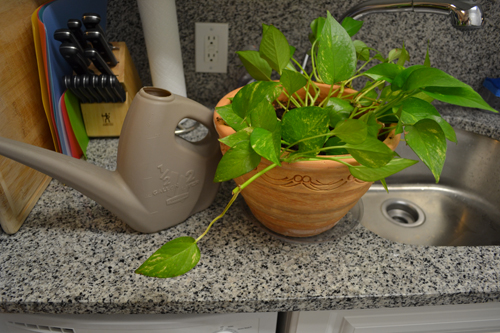 Watering can, plant