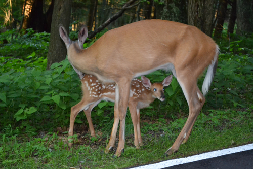 Deer with fawn 2