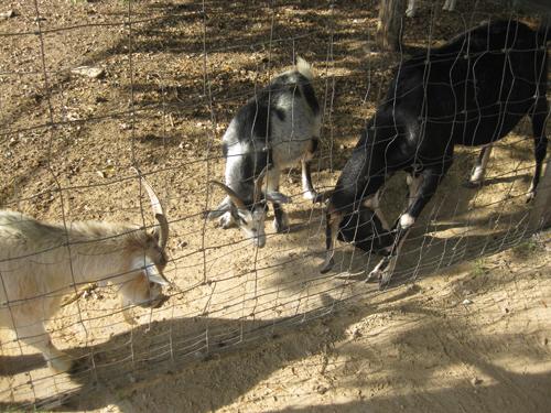 Goat trio